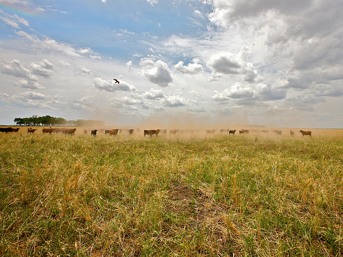 Cattle in a dry, dusty field