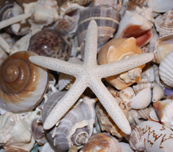 Make a seashell craft