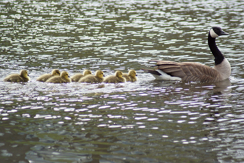 A goose and her goslings