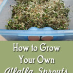 How to Grow Your Own Alfalfa Sprouts