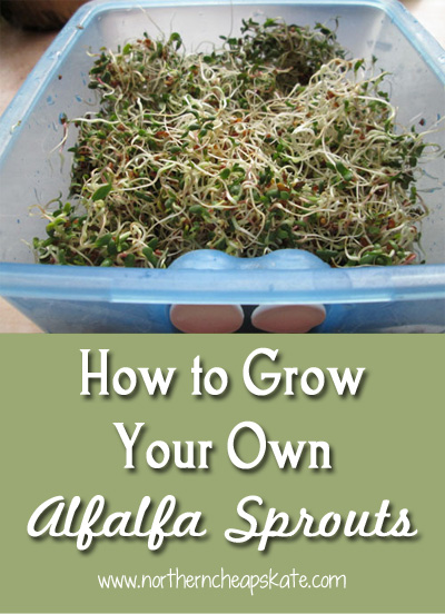 How to Grow Your Own Alfalfa Sprouts - Northern Cheapskate