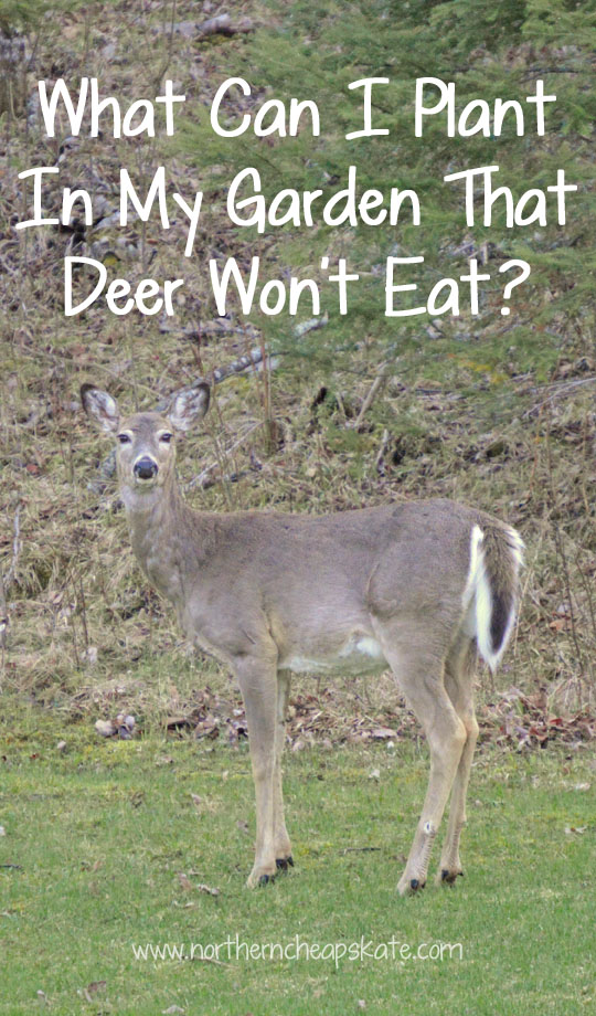 What Can I Plant In My Garden That Deer Won't Eat?