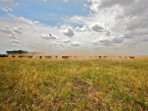 Cattle in a dry, dusty field