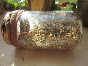 How to Grow Your Own Alfalfa Sprouts: Day 5