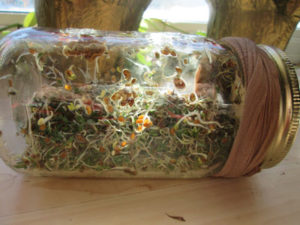 How to Grow Your Own Alfalfa Sprouts: Ready to Eat!