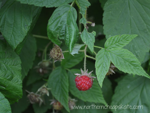 Frugal Ponderings: Prepping for What's Next - Fresh Raspberries