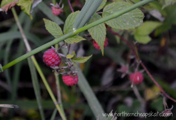 Frugal Summer: Picking Raspberries